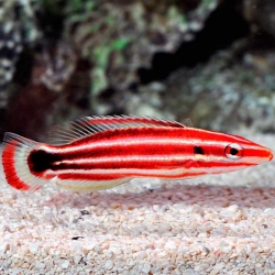 Comprar Bodianus Sepiacaudus online en Barcelona Reef