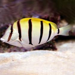 Comprar Acanthurus Triostegus online en Barcelona Reef